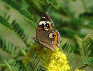 butterfly & buckeye